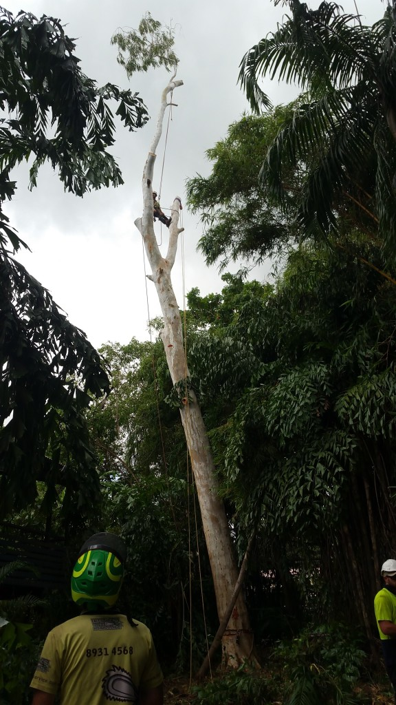 A large gumtree being removed from a garden in Darwin
