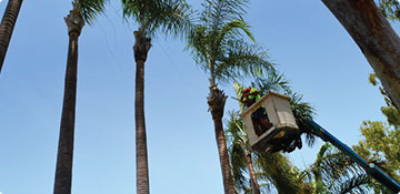 A tree lopper trimming a palm tree on a cherry picker