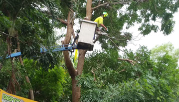 A tree lopper in a cherry picker pruning a tree